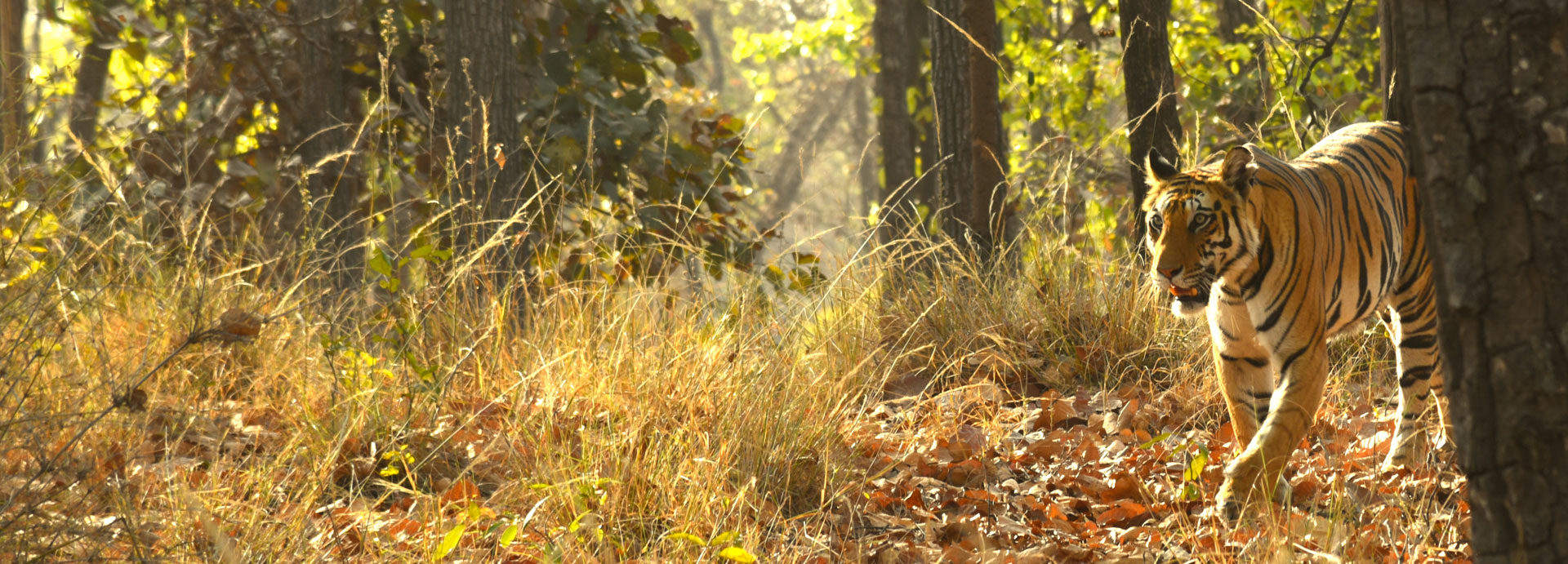 Tiger sighting at bandhavgarh National Park
