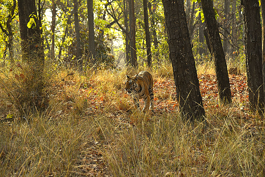 Beautiful tiger at Bandhavgarh