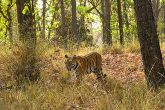 Bandhavgarh Wild life and Tiger sighting