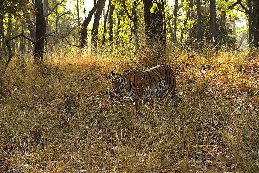 Wild Tiger at home