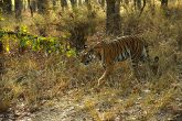 Tiger spotted at bandhavgarh national park madhya pradesh