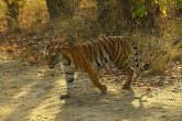 Tiger visiting a waterhole at bandhavgarh national park madhya pradesh
