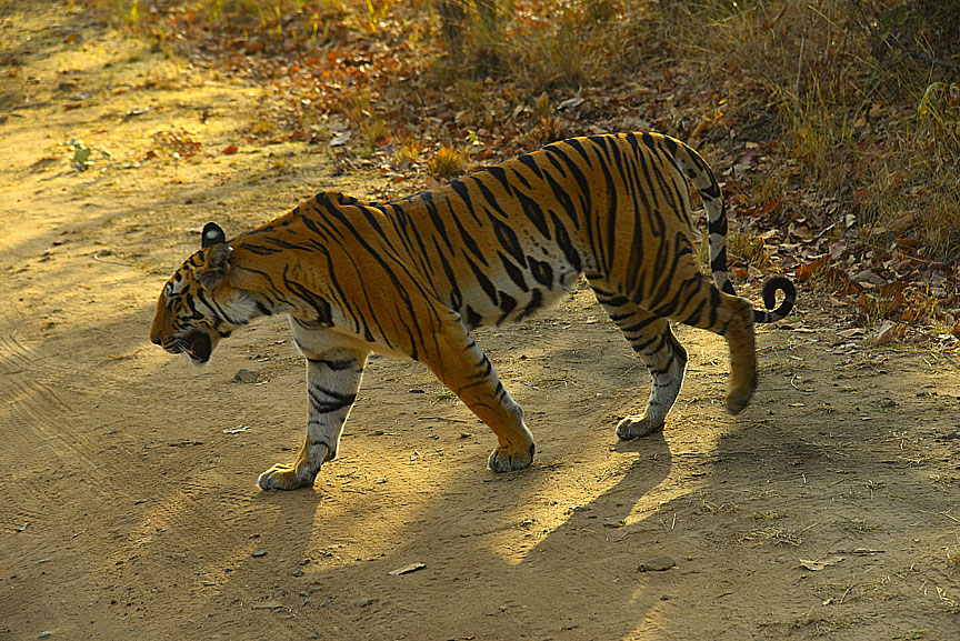A relaxed Tiger at bandhavgarh national park madhya pradesh