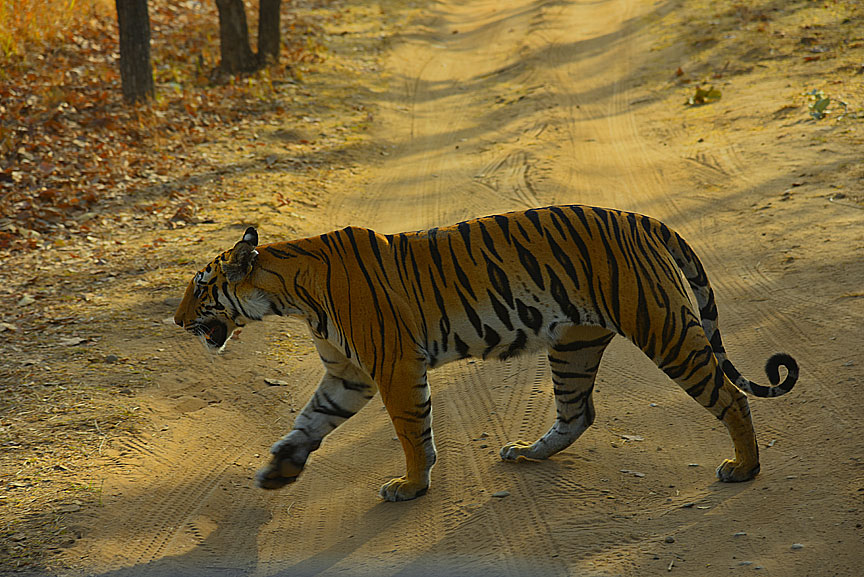 bandhavgarh national park madhya pradesh and our Tiger safari