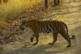 Tiger safari at bandhavgarh national park madhya pradesh