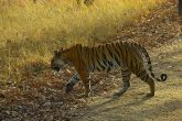 A wild life safari at Tala zone of bandhavgarh national park madhya pradesh